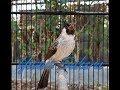 Kutilang Memanggil Lawan Pancingan Super Mantap Bikin Burung Kutilang Lain Nyaut Gacor  Mp3 - Mp4 Download
