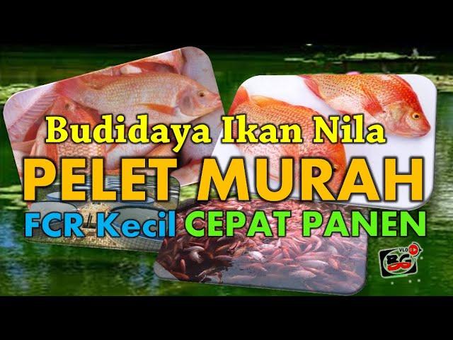 Pakai Pelet Murah Pada Budidaya Ikan Nila Apakah Cepat Panen Youtube