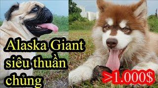 Alaska Giant Khổng lồ Puppy siêu thuần chủng giá bao nhiêu - Alaska Oversize là gì? - PUGK PET