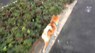 柴犬 スペックの散歩 尼崎 城内付近