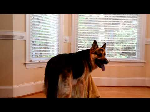 Smart German Shepherd:  Twitch Letting Sophie Out of Her Kennel