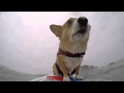 Up-close footage of surfing Corgi!