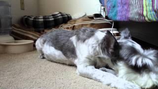 Cutest Mini Schnauzer Loves Used Dryer Sheets