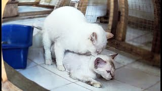 Our White Turkish Angora Cats Love With Perfect Handsome Cat