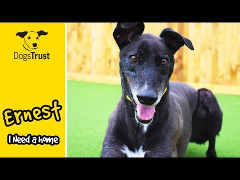 Ernest the Greyhound Loves His Zoomies! | Dogs Trust Glasgow