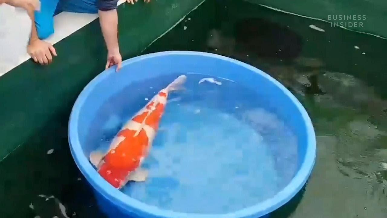 Questo pesce domestico vale 1 8 milioni di dollari perch for Carpa koi costo