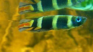 Ringelhechtling Steckbrief-Video HD (Epiplatys annulatus)
