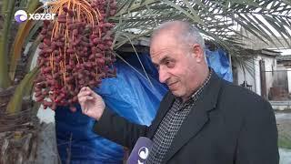 Azərbaycanda əkilən İran xurması 17 il sonra məhsul verdi