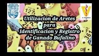 Utilización de aretes para identificación y registro de ganado bufalino