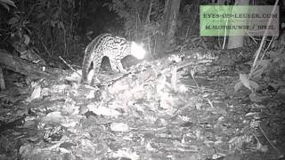 leopard cat (eyes on leuser /BPKEL)