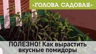 Голова садовая - ПОЛЕЗНО! Как вырастить вкусные помидоры