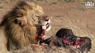 Lion Pride Breakfast Scene Turns To Chaos | Maasai Mara Lions
