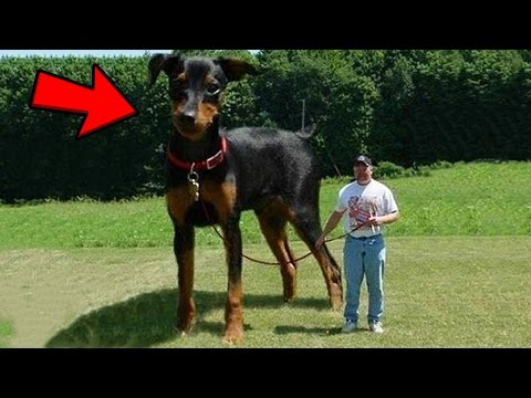 Thumbnail: Top 10 Abnormally Large Animals YOU WON'T BELIEVE EXIST!