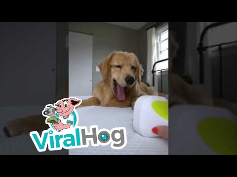 Confused dog has the best reaction to a head massager