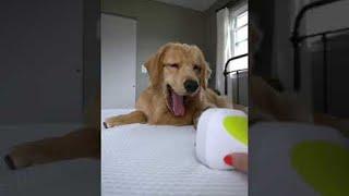 Doggo Doesn't Understand Head Massager    ViralHog