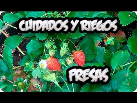 riego de fresas en maceta