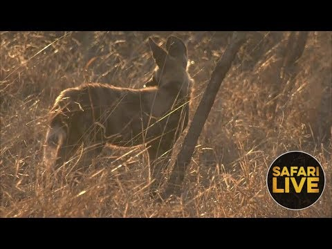 safariLIVE - Sunset Safari - October 5, 2018