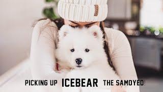 Picking Up ICEBEAR The Samoyed Puppy! California to Colorado