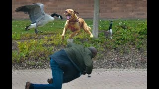 Dog Protects Owner From An Attacking Goose!!! thumbnail