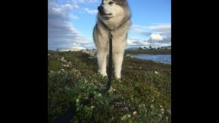 ** How do you potty train an Alaskan Malamute? For REAL!!