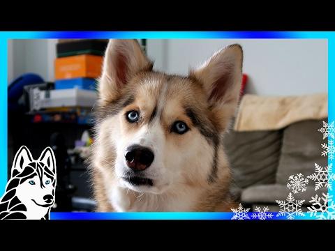 DOG SLEDDING EQUPIMENT | #AskGTTSD 283 | Siberian Husky