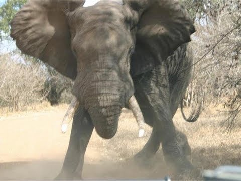 Elephant Throws Mud At Tourist   Elefante lanza mierda a turista