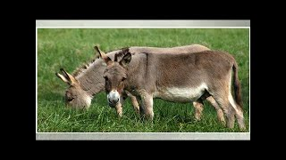 First cattle, now donkey & horse smuggled into Cedros