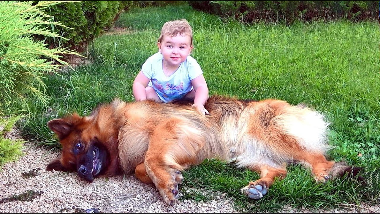 Аргун и его БОЛЬШАЯ СЕМЬЯ. Длинношерстная Немецкая овчарка и мопсы в кругу семьи.