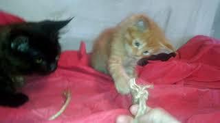 Игривый крупный рыжий тигровый котик породы Мейн кун. Large red cat Maine Coon
