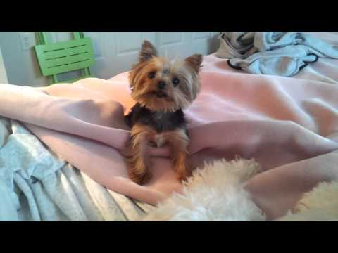Lucy, World's smallest working dog (Guinness record).