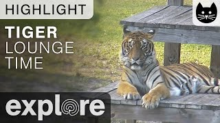 Tigers Relax On Vacation at Big Cat Rescue - Live Cam Highlight