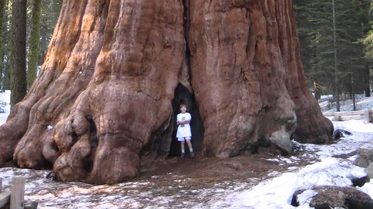 El arbol mas alto mas grande y mas antiguo del mundo for Arbol mas grande del mundo