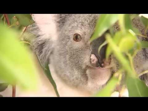 Housing developments leave koala populations dwindling