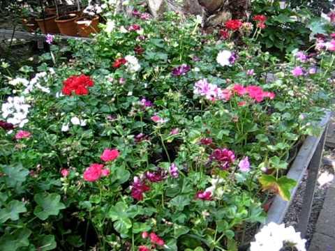 Plantas de sombra youtube - Flores de sombra ...