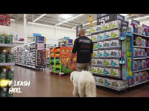 5 Month Old Komondor 'Marley' | Orlando Dog Trainers | Central Florida Dog Trainers