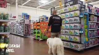 5 Month Old Komondor 'Marley' | Orlando Dog Trainers | Central Florida Dog Trainers