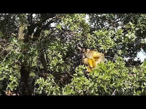 Bolivian squirrel monkeys