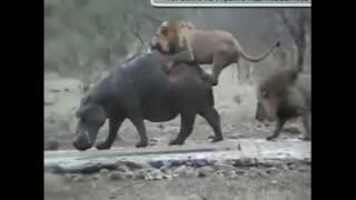 охота хищников в стае