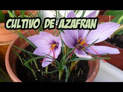 Cultivo de azafr n la huerta de ivan youtube - Como cultivar azafran ...