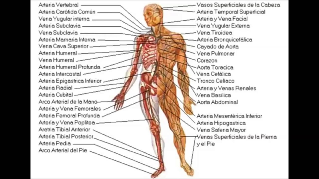 Beste Arteria Und Vena Femoralis Anatomie Bilder - Menschliche ...