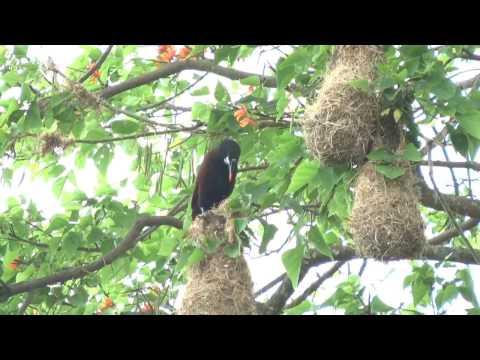 Oropendolas Nesting In San José, Costa Rica