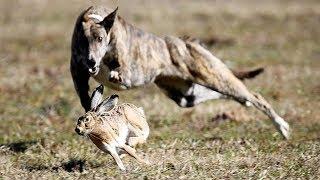 7 Cães De Caça Mais Letais Do Mundo