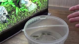 Запуск аквариума 35 литров. Часть 6. Первый месяц. Посадка рыб(КАНАЛ аквариумиста http://www.youtube.com/user/YoursAquaLife Мы ВКОНТАКТЕ http://vk.com/yoursaqualife Этот выпуск посвящен первому месяцу..., 2015-02-25T17:15:17.000Z)