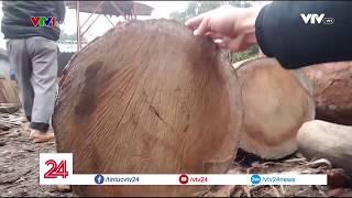Khai thác gỗ trái phép tại vườn quốc gia Tam Đảo | VTV24