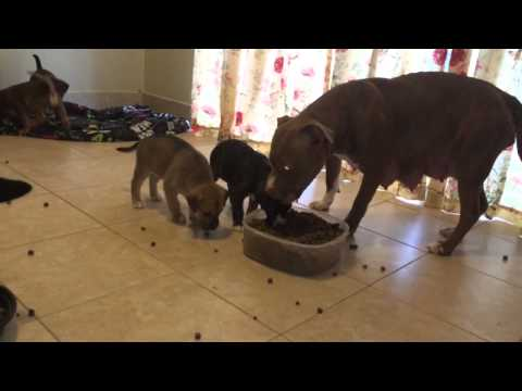 Pitsky puppies trying to eat parents food (not having it lo