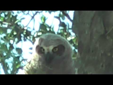 Great Horned Owl,American Bald Eagle and Marco Island Manatee
