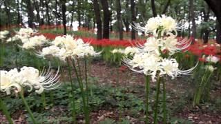 伊勢崎市境御嶽山自然の森公園 彼岸花 2015.09.16
