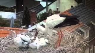 Ooievaar werpt jong uit nest