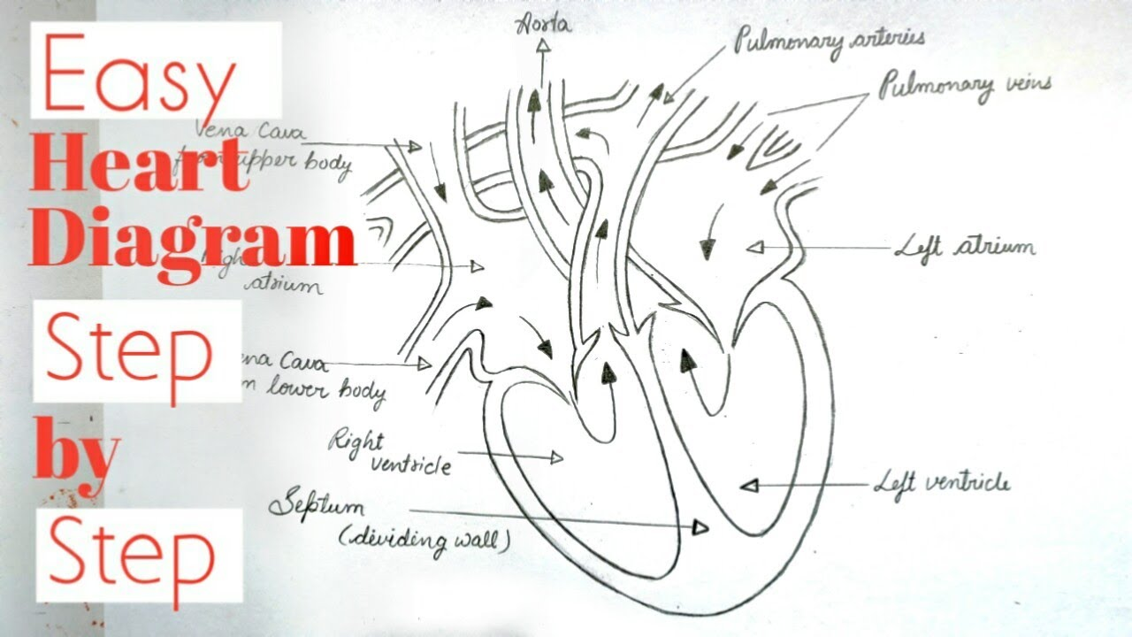 How to draw diagram of human heart step by step/ easy ...