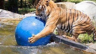 Malayan Tiger Playing in Water at Naples Zoo